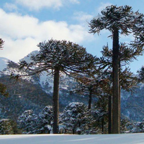 Enfermedad de las araucanias se debería a una combinación de estrés ambiental y hongos
