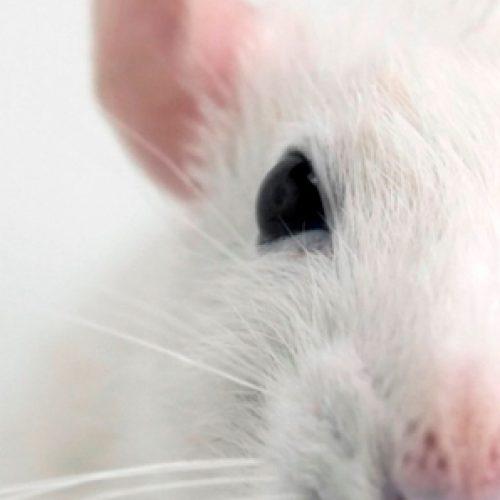 Recuperan la visión en ratones con degeneración retinal al implantar gen de las células de conos en células ganglionares