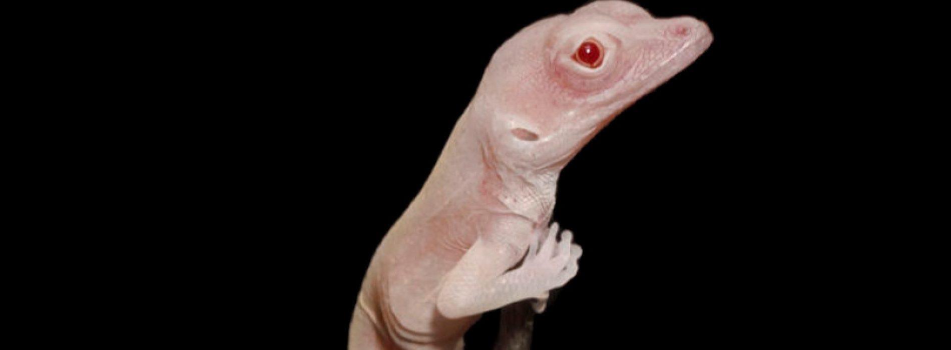 Científicos crean lagartijas albinas, primer reptil modificado genéticamente