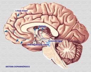 cerebro-detalles-300x237