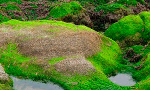 El alga marina Ulva compressa y sus características de animal y vegetal