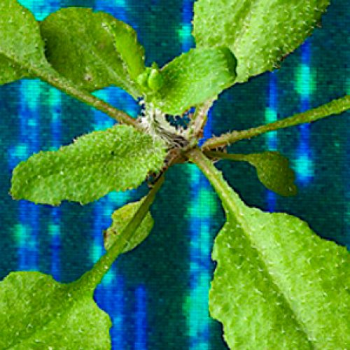 Study combines optical mapping and sequencing to study the undesirable effects of the genetic modification in Arabidopsis thaliana