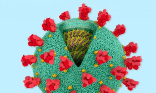 ¿Qué es lo que hay al interior del Coronavirus?