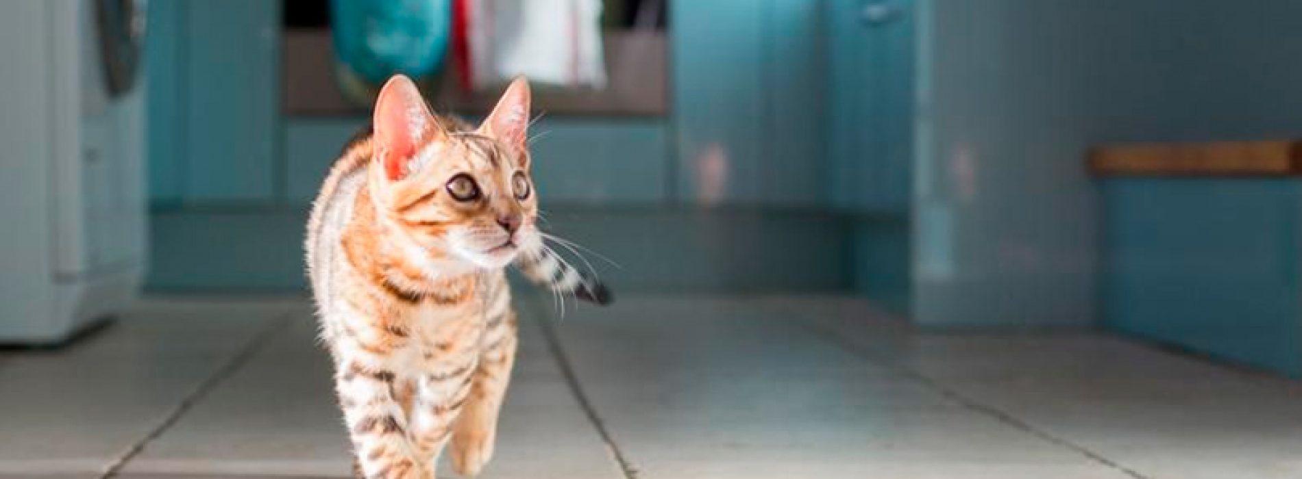 Por qué el nuevo coronavirus afecta a algunos animales pero a otros no