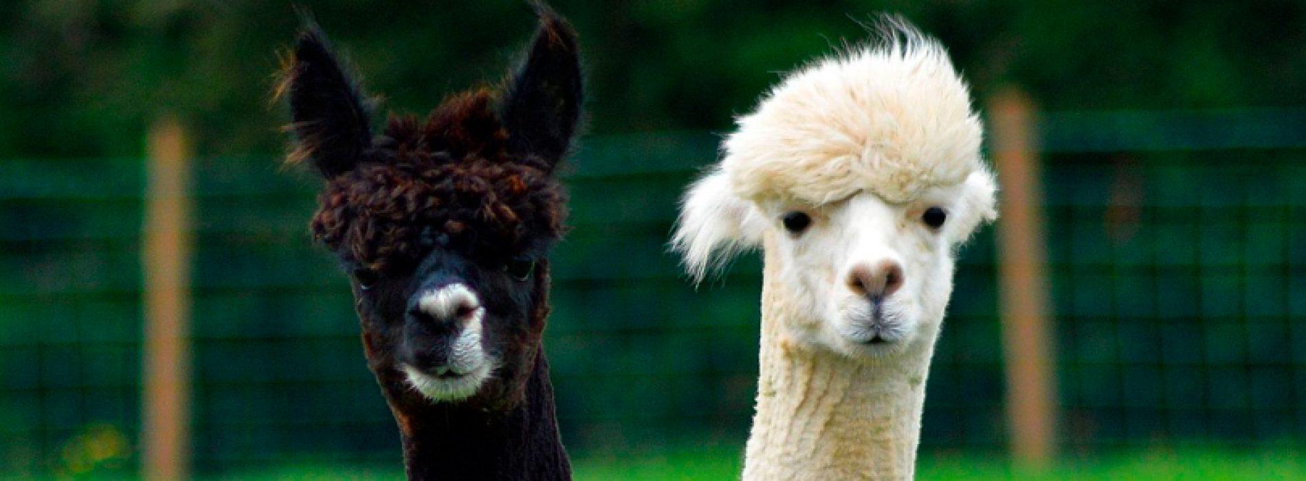 Chilean scientists study alpacas antibodies to fight COVID-19