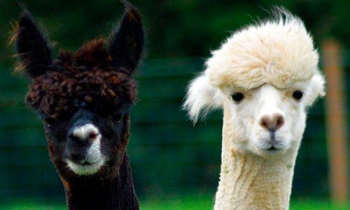 Científicos chilenos estudian los anticuerpos de las alpacas para combatir el COVID-19