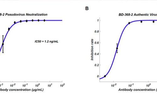 Equipo de investigación halla anticuerpos neutralizantes efectivos contra el SARS-CoV2