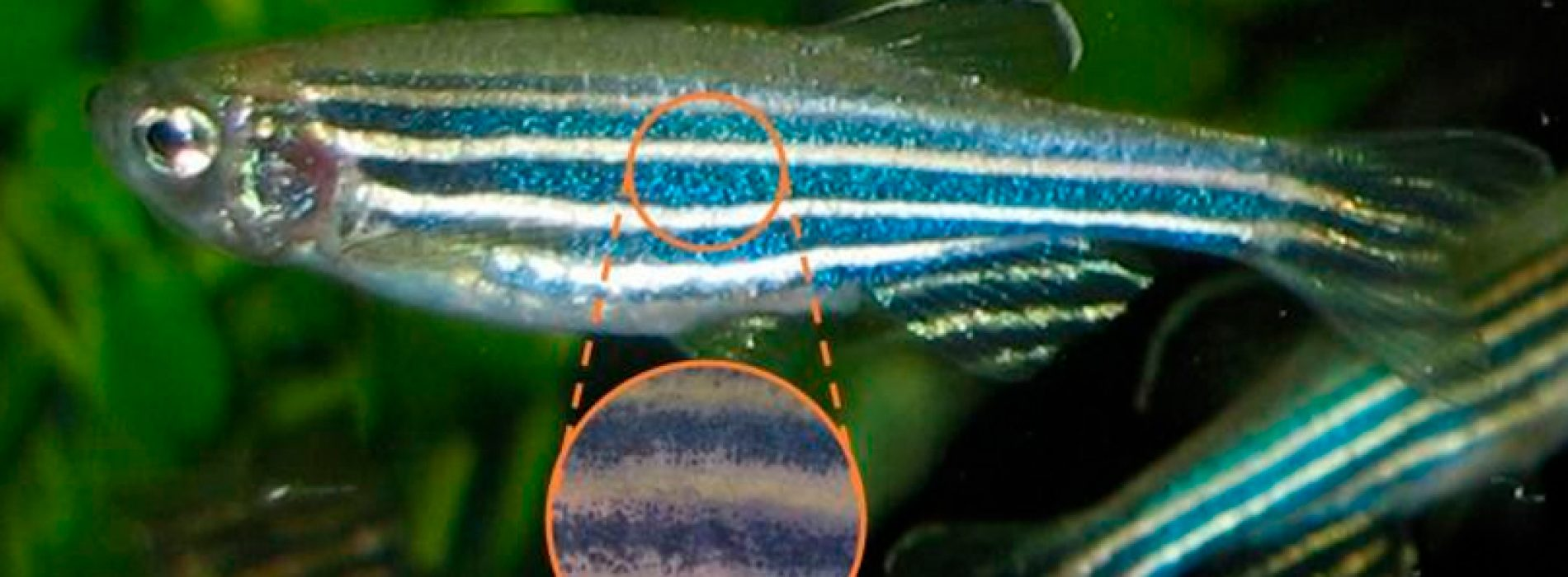 Cómo el pez cebra obtuvo sus rayas