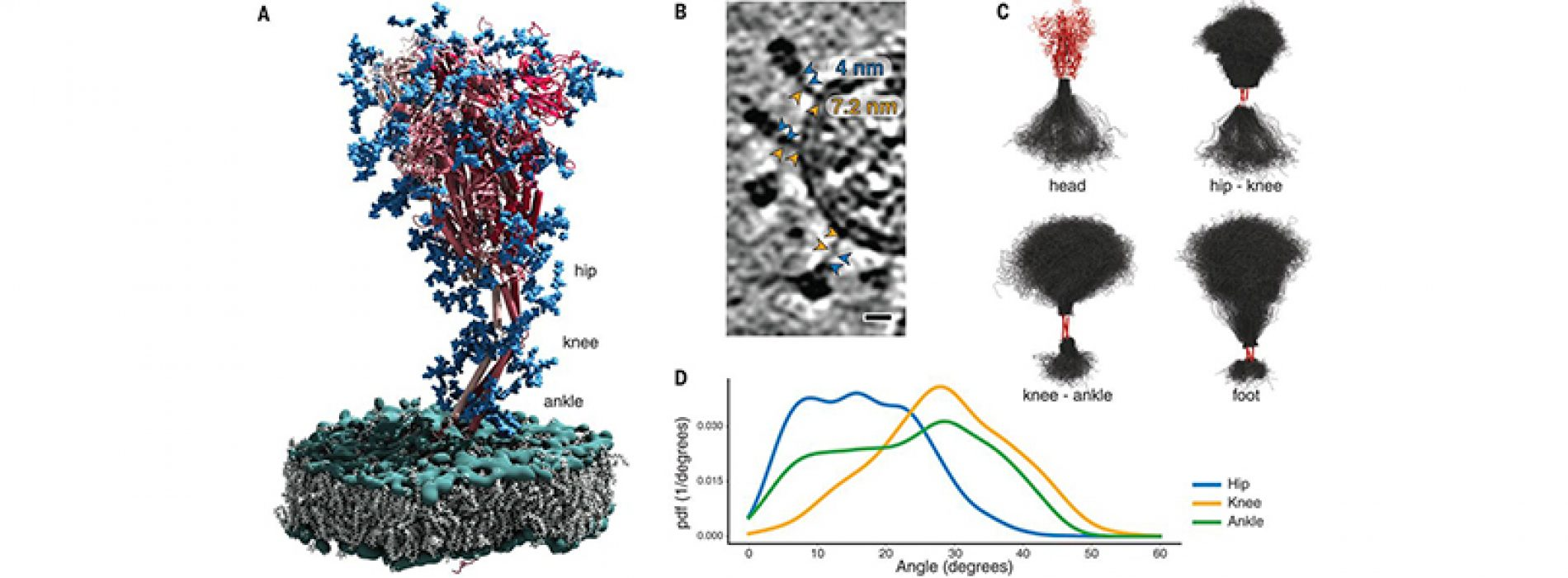 """Structural on-site analysis of SARS-CoV-2 protein S reveals the existence of """"hinges"""" that allow flexibility"""