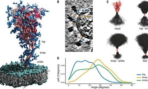 """Análisis estructural in situ de la proteína S del SARS-CoV-2 revela existencia de """"bisagras"""" que permiten flexibilidad"""
