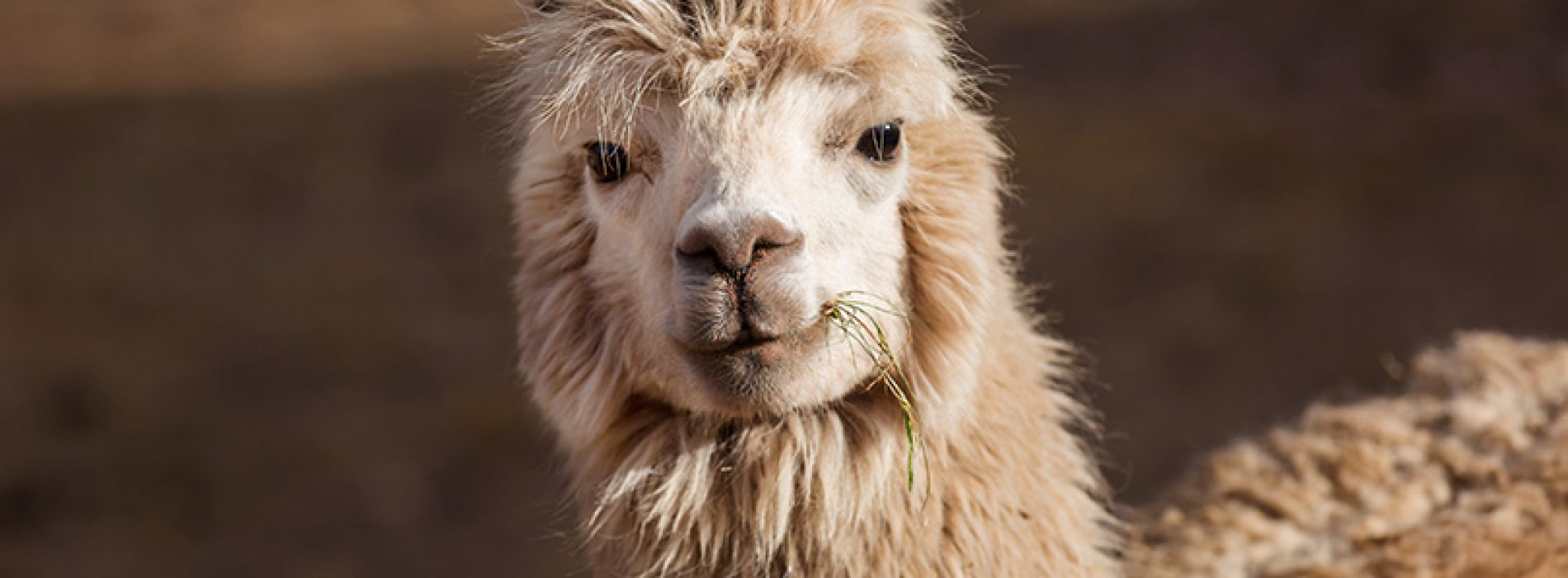 Chilean researchers discover alpaca antibodies that would neutralize three variants of Covid-19