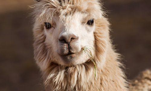 Investigadores chilenos descubren anticuerpos de alpacas que neutralizarían tres variantes de Covid-19